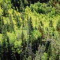 004-Aspen Pine Fall