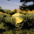 036-Aspen Leaf On Pine Branch