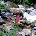 066-Fireweed Stream