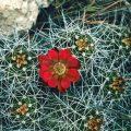 069-Cactus in Bloom