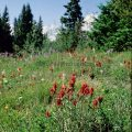 070-Paintbrush in a Field
