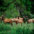 083-Elk group in trees