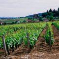 108-Provincal Vineyard