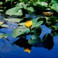 143-Water Lilies