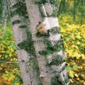 176-Leaning Birch Trees