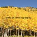 217-Yellow Aspen