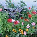 253-Poppy Garden