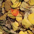259-Red Aspen Leaf