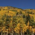 272-Green and Gold Aspen