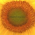 285-Close up of a Sunflower