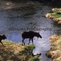 293-Moose Going For a Drink